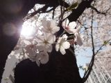Cherry Blossoms and New Beginnings